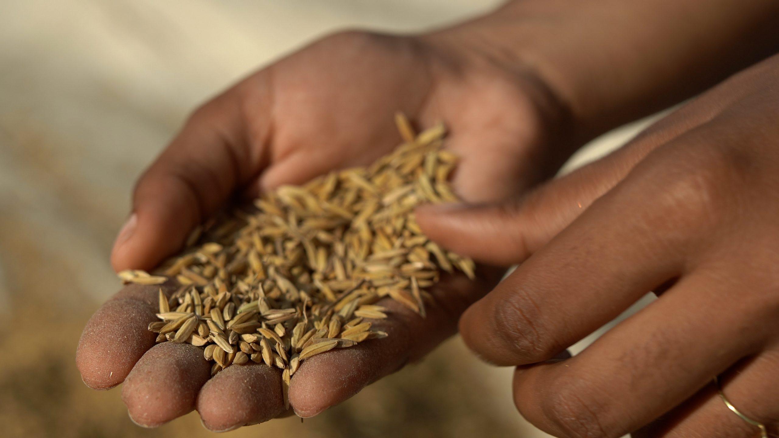 10_yamoussoukro-recolte-de-rizpascal-kardous_slugnews